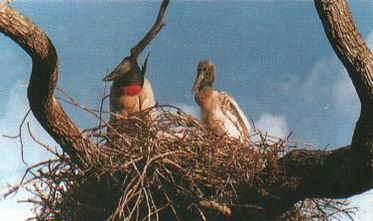 Ninho de Jaburú, ave típica dos pântanos do Cerrado